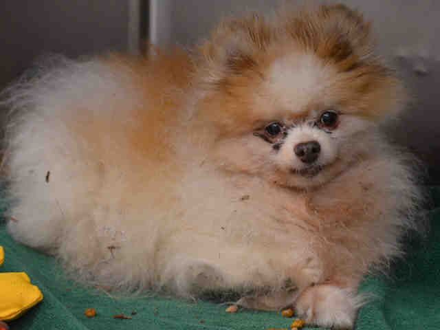 SUPER URGENT Manhattan Center BERNIE – A1093780  NEUTERED MALE, BROWN / TAN, POMERANIAN, 14 yrs STRAY – STRAY WAIT, NO HOLD Reason STRAY Intake condition EXAM REQ Intake Date 10/17/2016, From NY 10474, DueOut Date 10/20/2016,