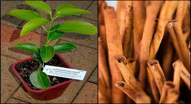 La canela es una especia que aporta muchos beneficios para salud por la gran cantidad de propiedades que posee, así como es muy utilizada en la cocina...