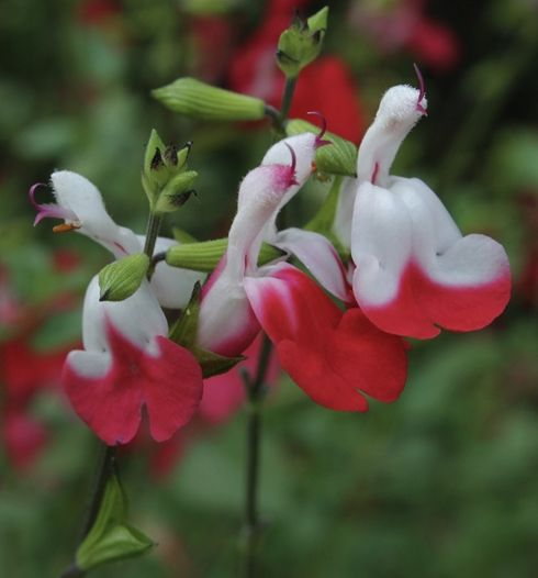 Hot Lips Little-leaf Sage for sale buy Salvia microphylla 'Hot Lips': This can get 3' tall and 6' across and likes sun, so will have to be mindful of where it's planted!