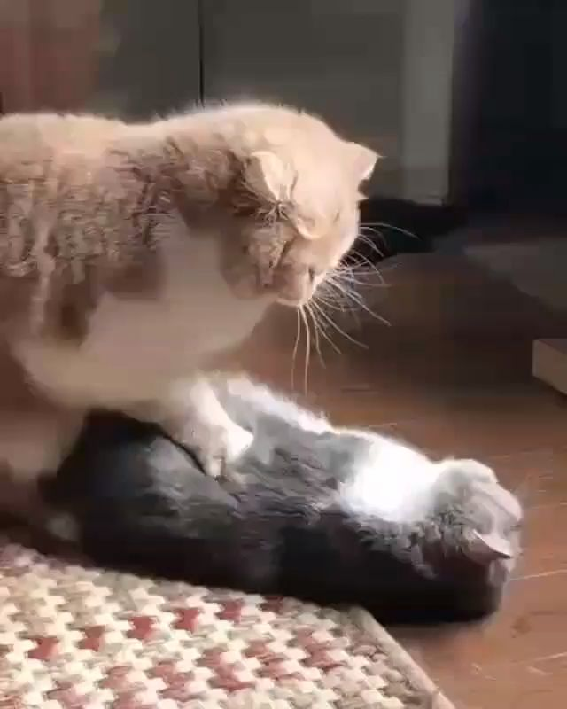 Cat giving special massage.