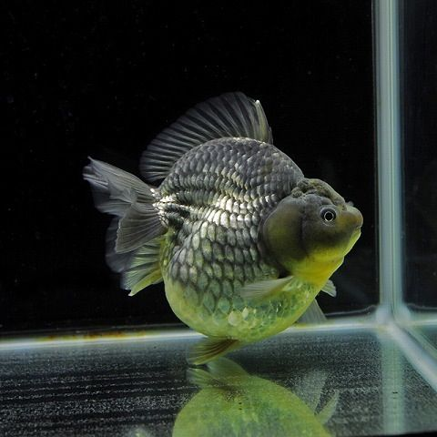 Oranda Gold Fish 6