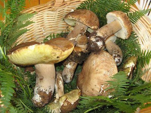 funghi porcini  #TuscanyAgriturismoGiratola