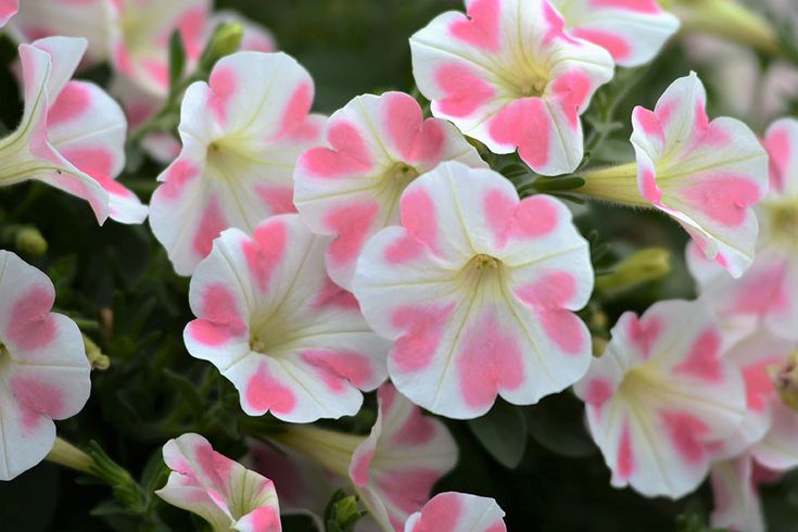 Petunia 'Surfinia Heartbeat'. California Spring Trials Central Region Preview: More New Annuals For 2017 | Greenhouse Grower