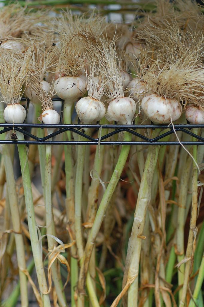 Lisa's great garlic drying technique! <-- love this!: Gardens Ideas, Wire Shelves, Dry Techniques, Dry Garlic, Videos Tutorials, Garlic Harvest, Garlic Dry, Cure Garlic, Harvest Garlic