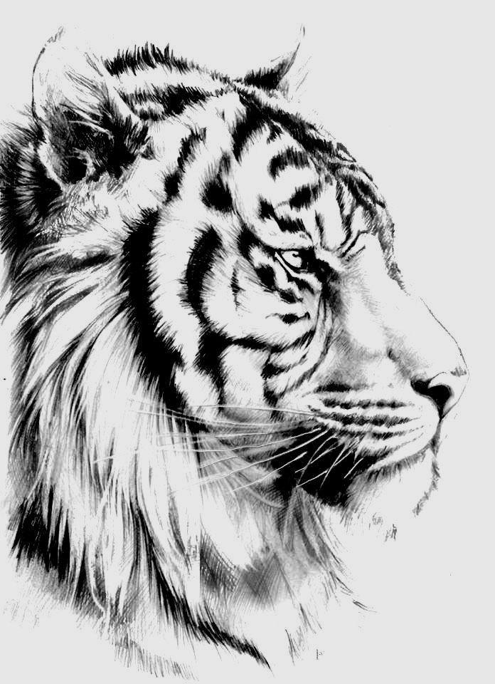 Pin by Arezo Saadat on Tiger drawing | Tiger tattoo design ...