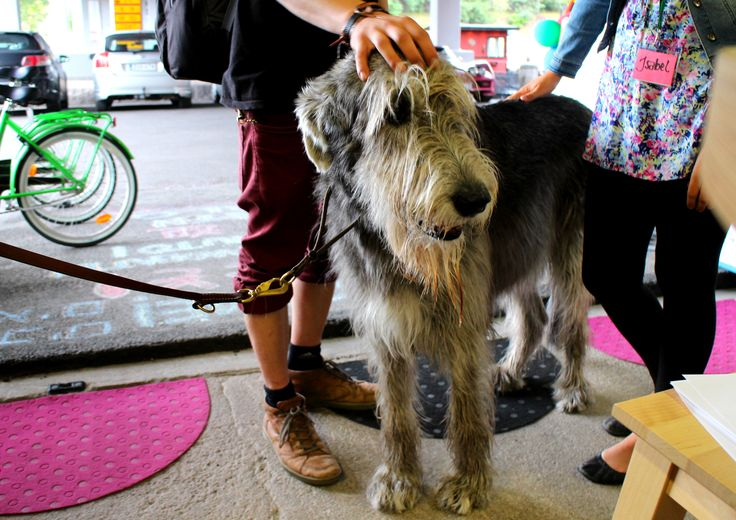 """Nice tae meit ye! D'ye spaek Scots?"" A 5 year old Scottish Wolfhound making new friends at the Tourist Information. ""A love ye!"" www.visitporvoo.fi"