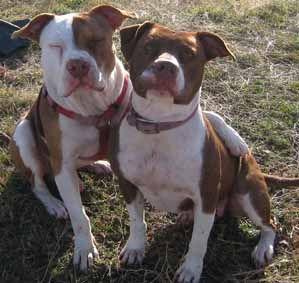 Red Nose PitBull Buddies | McNamara's Pit Bull Kennels