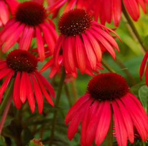 "Big Sky Twilight Echinacea Plant - fragrant, vibrant rosy-red flowers have an unusually deep burgundy-red, button-shaped cone  Mature Height: 24-30""  Mature Spread: 18-24""  Exposure: Full Sun-Partial Shade  Bloom Time: Mid-Summer to Mid-Fall  Soil Moisture: Average, Well-Drained, Don't Overwater  Soil Type: Widely adaptable, 5.8-7.5 pH   Perennial in Zones 4-9"
