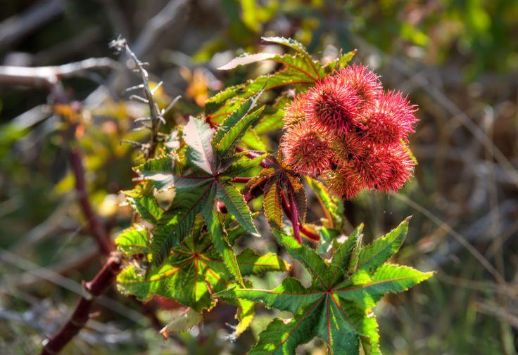 De vruchten van de castor tree, de wonderboom, geven heel veel goede werkstoffen. Het is een sterke anti-oxidant, voedend en de olie beschermt de huid tegen water en in wateroplosbaar stoffen waardoor wondjes die hieronder zitten goed kunnen genezen.