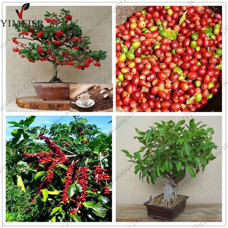Coffea Arabica Seeds Coffee Bean tropical bonsai tree seeds,Perennial  fruit Coffee tree seeds for Home garden plant 10seeds/bag