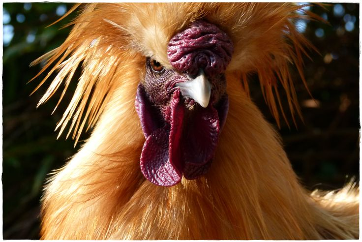 Gingin. The man in the chicken coop...