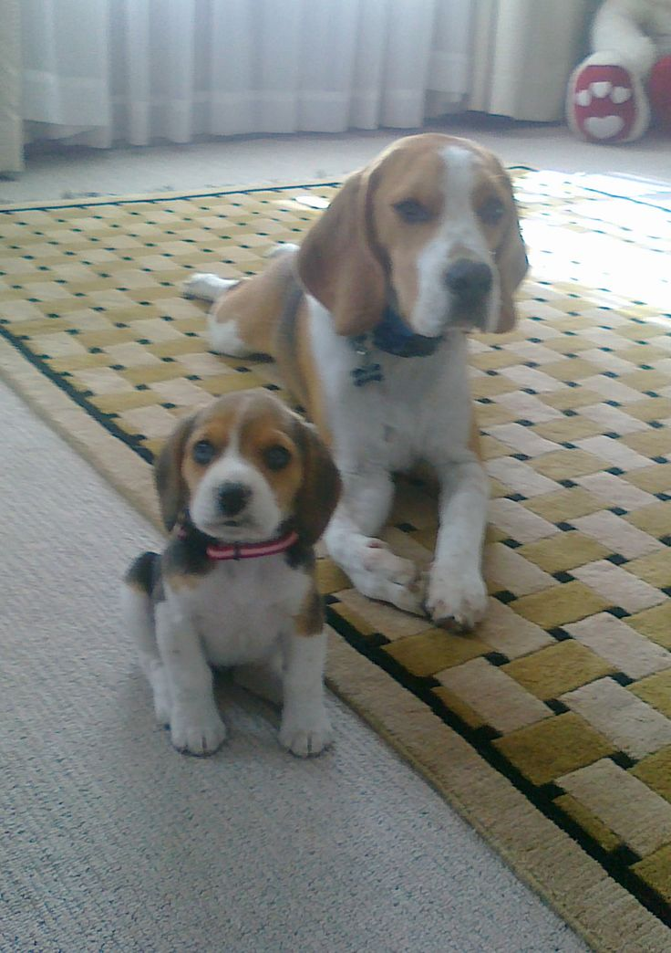 Beagles, best dogs ever!