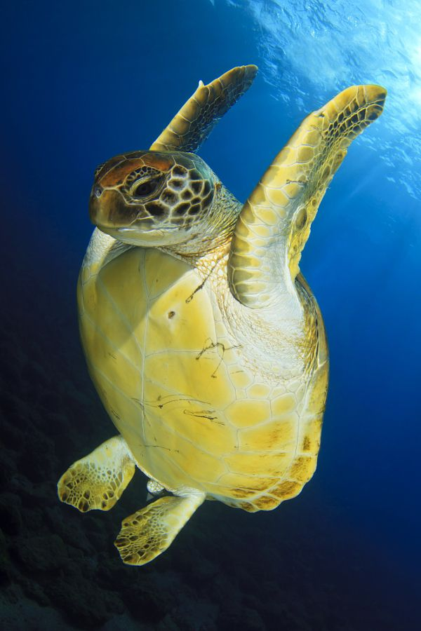 drxgonfly: Green Turtle (by David Carbó) | *~S E A J E W E ...