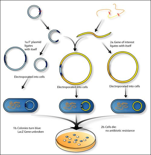 cloning in bacterial cells  bgh gene is cut from the cow