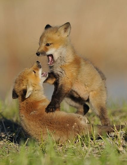 """Fox Cubs:  """"At Play.""""                ( # animals )"""