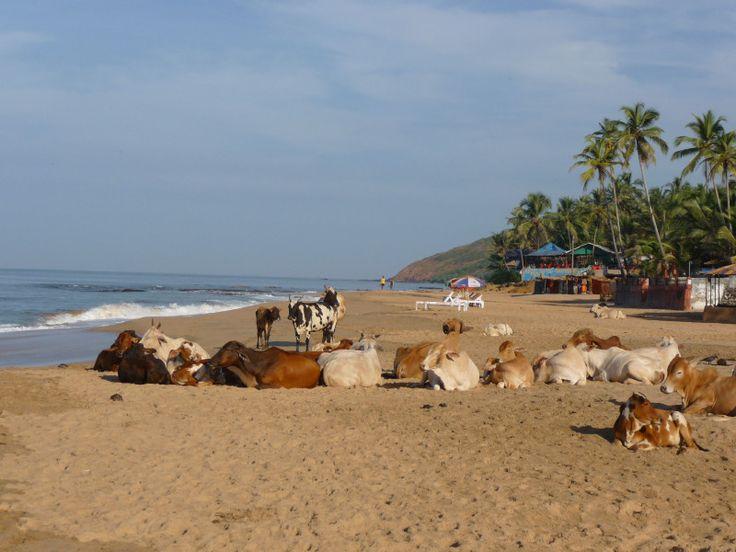 Unusual Travel Photo – Cow Beach