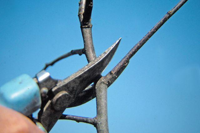 Как сделать так, чтобы ваши плодовые деревья приобрели компактную форму, были удобными для ухода и урожайными? Достаточно немного уметь управлять ростом, густотой дерева и знать его болевые точки.   Не слушайте соседей, уверяющих, что обрезать плодовые деревья нужно до сокодвижения. На самом деле мы всё успеем!