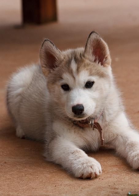 chiot husky pretty color!