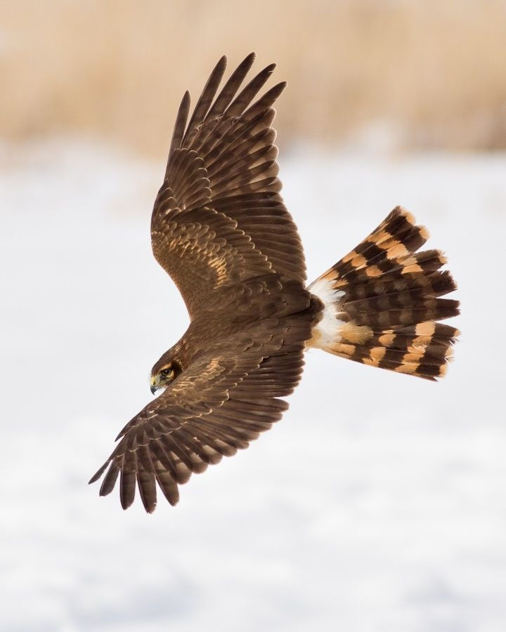 Hen Harrier January 26, 2017. The Wilds. Cumberland, OH.