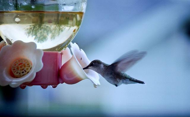 feeding in the blue: Photos, Hummingbirds