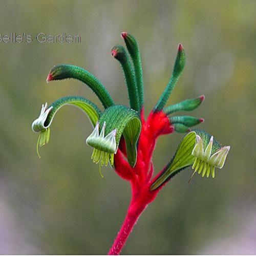 Free Shipping 20pcs Kangaroo Flowers Seeds Ornamental Plants Bonsai Seeds The Budding Rate 90%