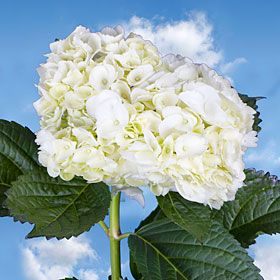 Cheapest real flowers I've found so far. Pinning so we can order for the wedding later. Hydrangea White.