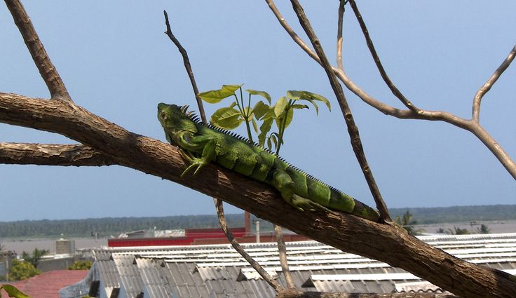 Iguana Perezosa!!