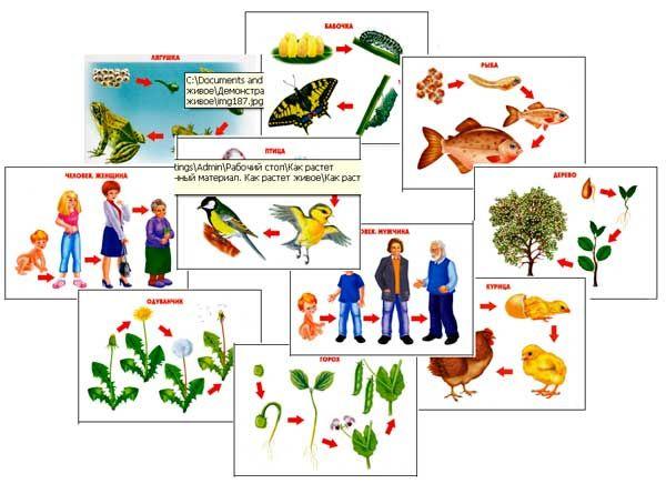 Формируем представление о том, как растут и развиваются животные, птицы, люди , растения
