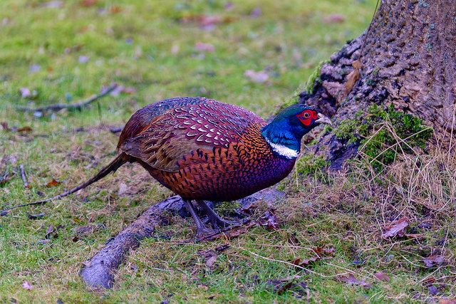 I am not a Pheasant Plucker | Pheasant picking grains in my … | Flickr