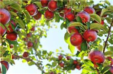 Plant apple trees in pairs so they can pollinate each other and yield more fruit.  Recommended to plan your Red Fuji with one of the following- Gala, Granny Smith or Yellow Delicious. http://www.fast-growing-trees.com/RedFuji.htm