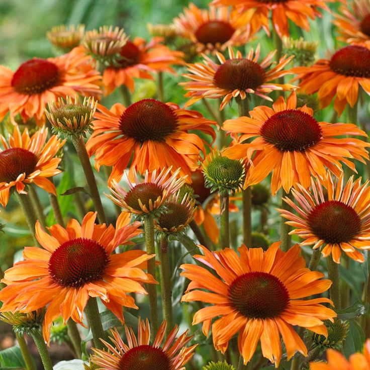 Lovely Echinacea Orange Passion