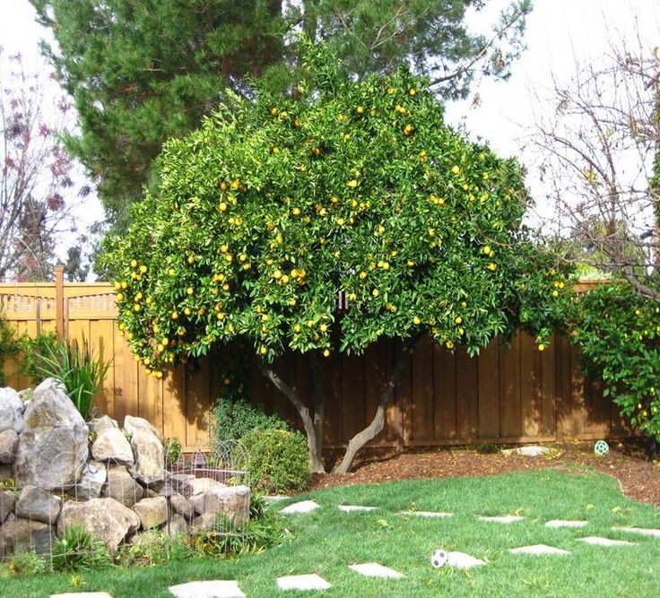 17 best images about carina citrus on pinterest trees for Garden trees b q