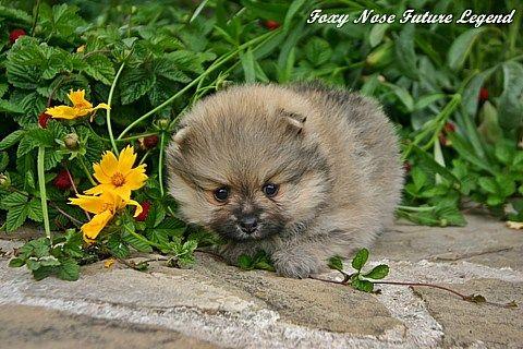 Foxy Nose - kleinspitz and pomeranian, Breeder Svetla Koleva, Bulgaria