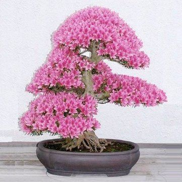 10Pcs Rare Sakura Seeds Cherry Blossoms Seeds Garden Flower Bonsai Tree