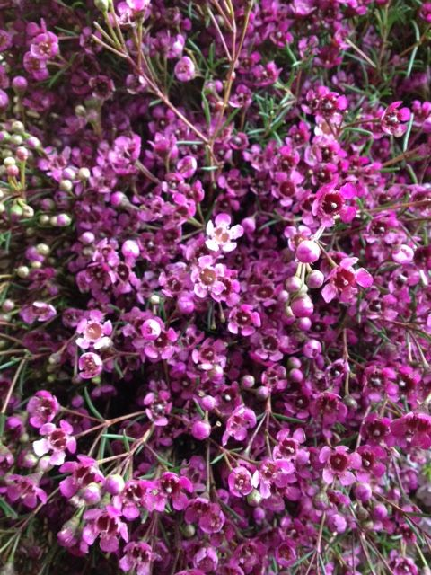 Waxflower 'Purple Pride'...Sold in bunches of 10 stems from the Flowermonger the wholesale floral home delivery service.