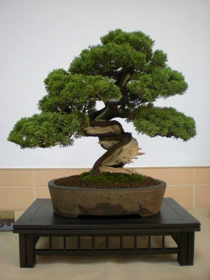Bonsaiii