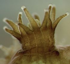 close-up image of a coral polyp where the brownish-yellow round zooxanthellae cells are visible within the clear coral tissue