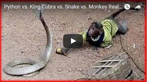 Beautifulplace4travel: Python vs. King Cobra vs. Snake vs. Monkey Real Fighting