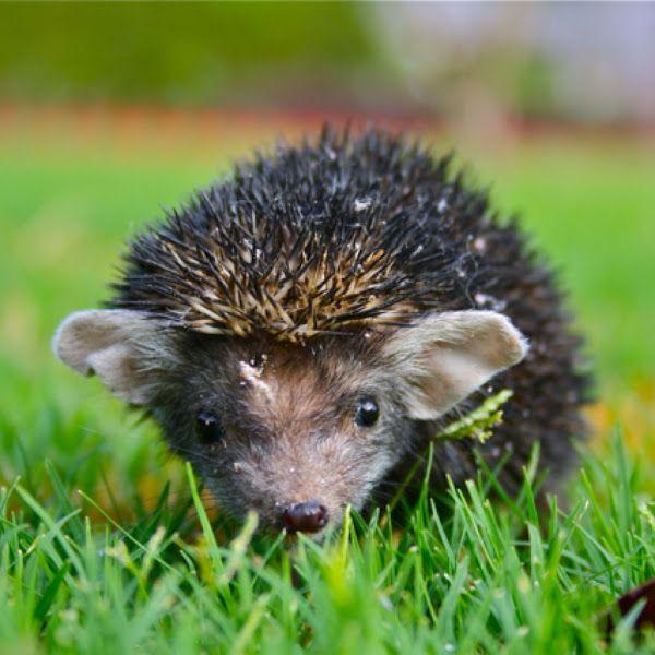 Indian long-eared hedgehog (Hemiechinus collaris) spotted by Kamal Rao