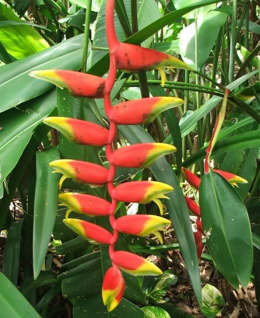 Exotic Tropical Plants - Heliconia Information - how to ...