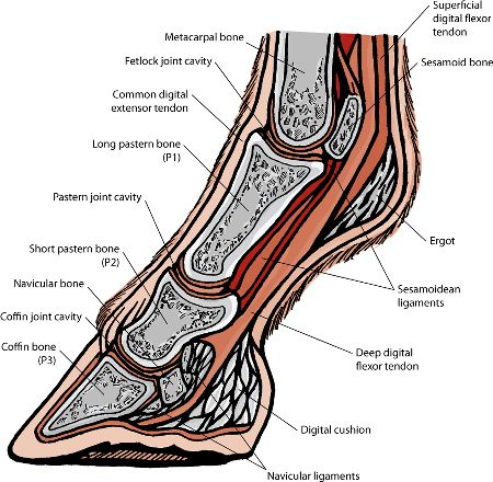A Quick Curricular of Navicular - Horse Boots Customer Help | EasyCare