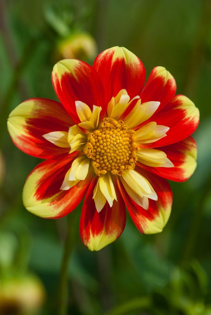 "Dahlia ""Pooh"" vibrant summer colours"