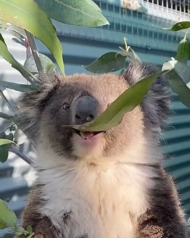 Cute Animals Image By Karla Keffer In 2020 Cute Animals Koala Animal Pictures