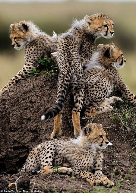 Baby Cheetahs  #provestra