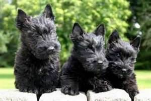scottie terrier - You cannot get 3 Scotties to all pose at the same time without hours of patients.