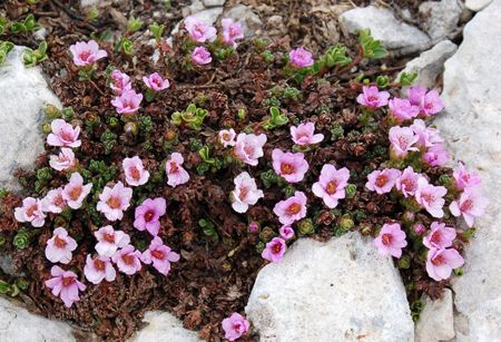 saxifraga - giardino roccioso
