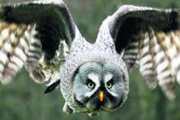 Ein Bartkauz im Anflug: Der Vogelpark Walsrode wurde 1962 gegründet, er gilt als größter der Welt - auf 24 Hektar Fläche werden 4000 Vögel g...