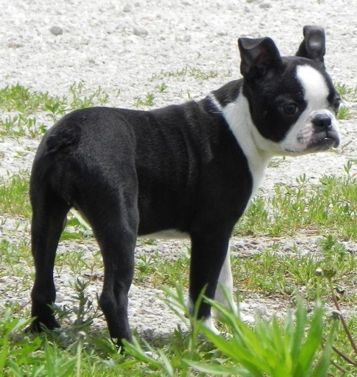 Boston terrier puppy breeders minnesota
