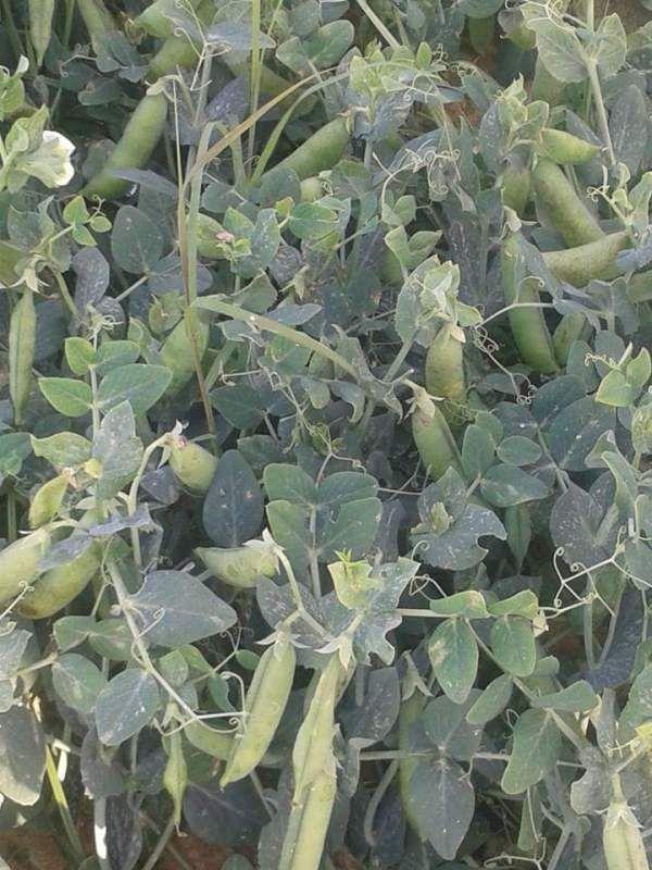 كيفية زراعة البسلة Plants Peas