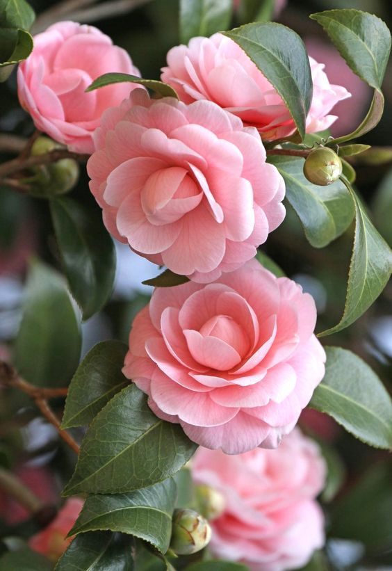 Most Beautiful Pink Flowers In The World Camellia Flower